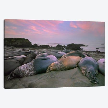 Northern Elephant Seal Group Laying On Beach, Point Piedra Blancas, California 3-Piece Canvas #TFI692} by Tim Fitzharris Canvas Art Print