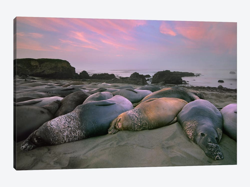 Northern Elephant Seal Group Laying On Beach, Point Piedra Blancas, California by Tim Fitzharris 1-piece Canvas Print