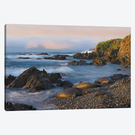 Northern Elephant Seal Group Resting On The Beach, Point Piedras Blancas, California Canvas Print #TFI693} by Tim Fitzharris Art Print