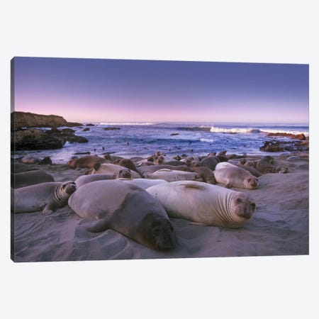 Northern Elephant Seal Juveniles Laying On The Beach, Point Piedras Blancas, Big Sur, California Canvas Print #TFI694} by Tim Fitzharris Canvas Wall Art