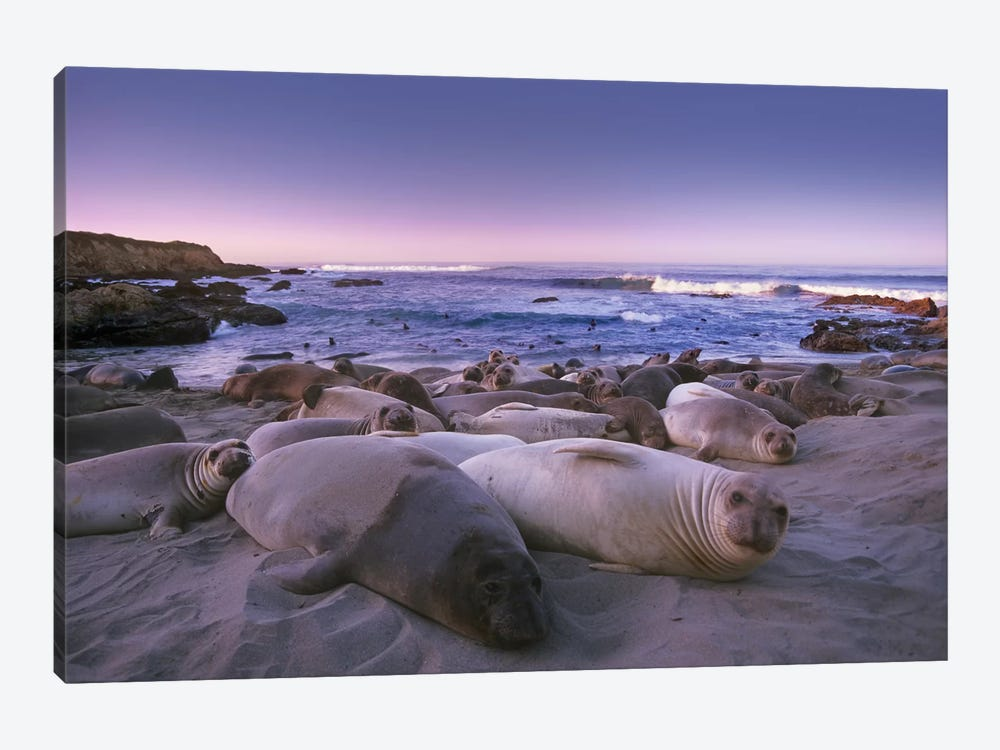 Northern Elephant Seal Juveniles Laying On The Beach, Point Piedras Blancas, Big Sur, California by Tim Fitzharris 1-piece Canvas Art Print