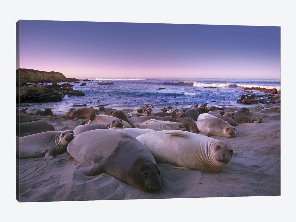 Northern Elephant Seal Juveniles Laying On The Beach, Point Piedras Blancas, Big Sur, California by Tim Fitzharris 1-piece Canvas Art Print