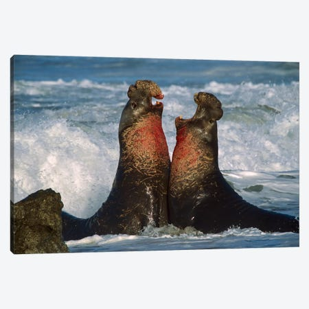 Northern Elephant Seal Males Fighting, California Canvas Print #TFI695} by Tim Fitzharris Canvas Wall Art