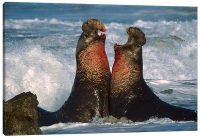 Northern Elephant Seal Males Fighting, California Canvas Art Print
