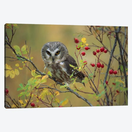 Northern Saw-Whet Owl Perching In A Wild Rose Bush, British Columbia, Canada I Canvas Print #TFI696} by Tim Fitzharris Canvas Art