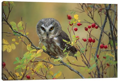 Northern Saw-Whet Owl Perching In A Wild Rose Bush, British Columbia, Canada I Canvas Art Print