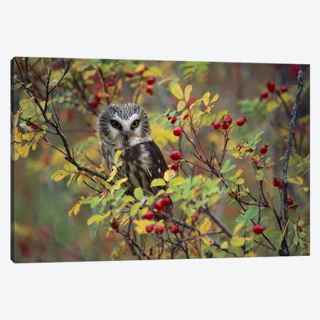 Northern Saw-Whet Owl Perching In A Wild Rose Bush, British Columbia, Canada II Canvas Print #TFI697} by Tim Fitzharris Canvas Art
