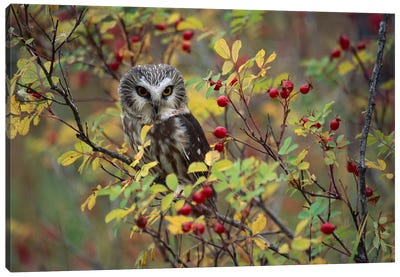Northern Saw-Whet Owl Perching In A Wild Rose Bush, British Columbia, Canada II Canvas Art Print