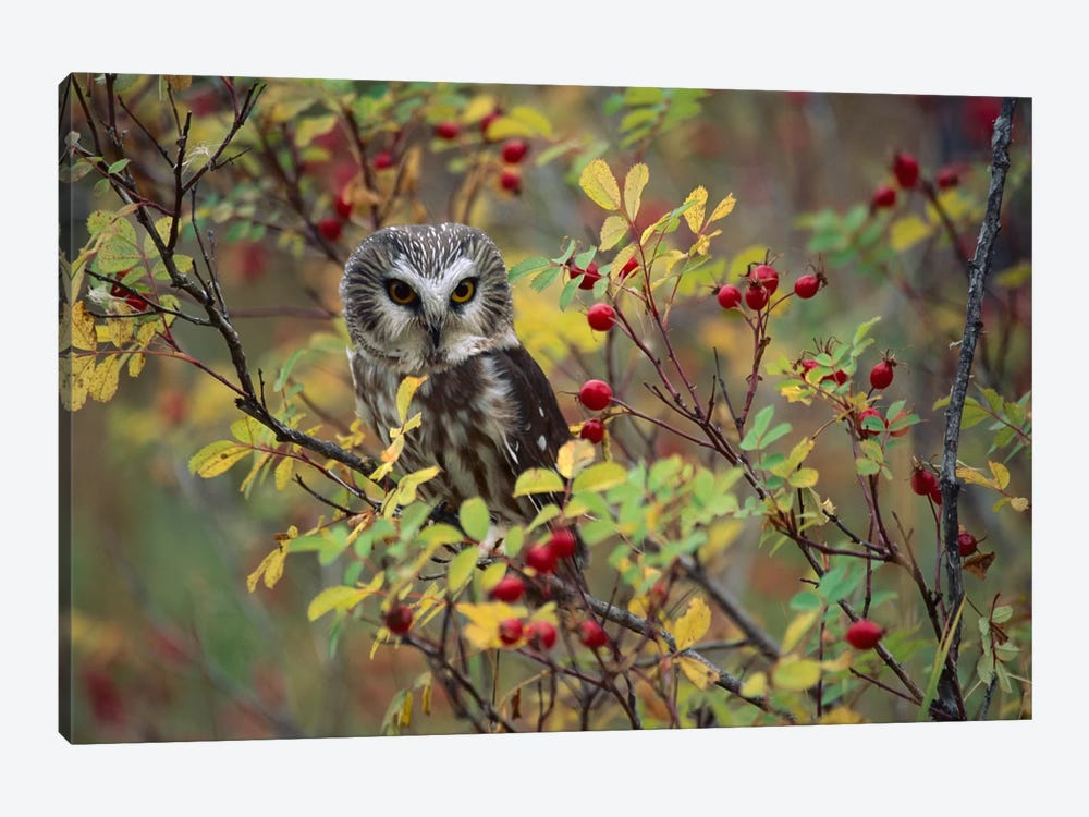 Northern Saw-Whet Owl Perching In A Wild Rose Bush, British Columbia, Canada II by Tim Fitzharris 1-piece Canvas Artwork