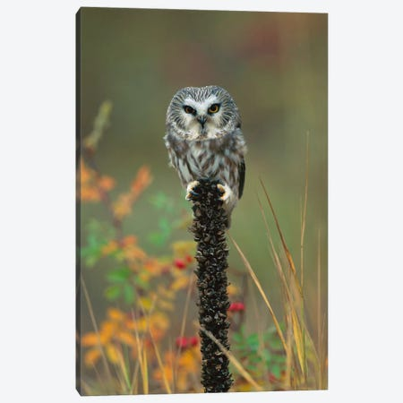 Northern Saw-Whet Owl Perching On Post, British Columbia, Canada Canvas Print #TFI698} by Tim Fitzharris Canvas Art Print