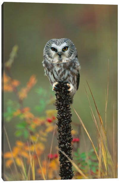 Northern Saw-Whet Owl Perching On Post, British Columbia, Canada Canvas Art Print