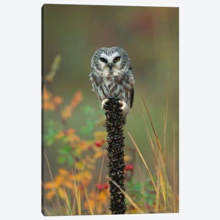 Northern Saw-Whet Owl Perching On Post, British Columbia, Canada Canvas Print #TFI698} by Tim Fitzharris Canvas Art Print