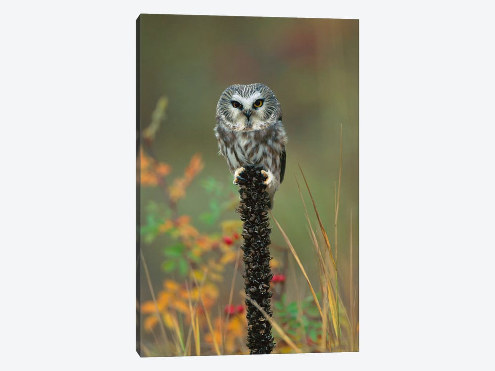 Northern Saw-Whet Owl Perching On Post, British Columbia, Canada by Tim Fitzharris 1-piece Canvas Art Print