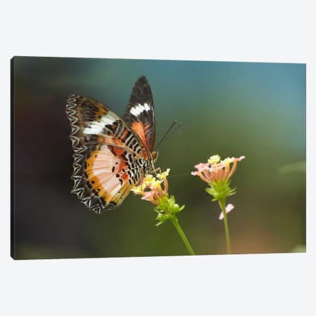 Nymphalid Butterfly Feeding On Flower Nectar, Native To Asia Canvas Print #TFI700} by Tim Fitzharris Art Print