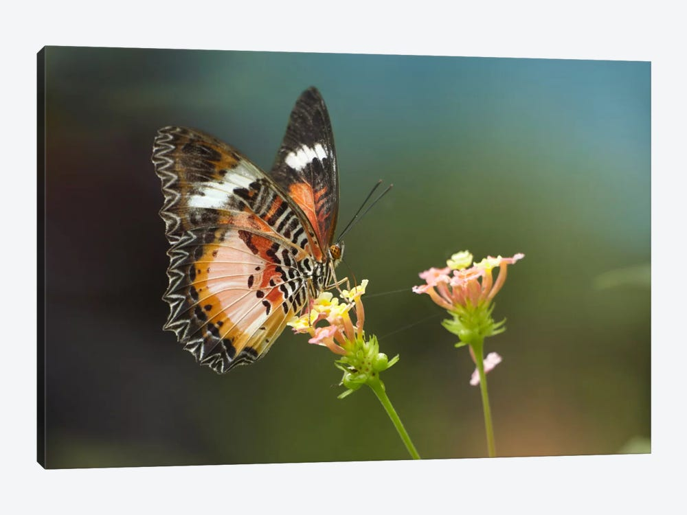 Nymphalid Butterfly Feeding On Flower Nectar, Native To Asia by Tim Fitzharris 1-piece Art Print