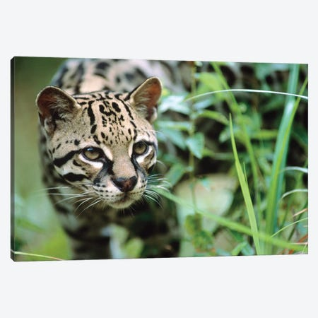 Ocelot Portrait, Belize Canvas Print #TFI711} by Tim Fitzharris Canvas Art