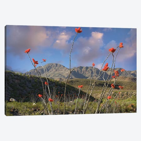 Ocotillo, Big Bend Ranch State Park, Chihuahuan Desert, Texas Canvas Print #TFI714} by Tim Fitzharris Canvas Print
