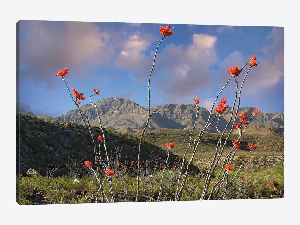 Ocotillo, Big Bend Ranch State Park, Chihuahuan Desert, Texas by Tim Fitzharris 1-piece Canvas Artwork