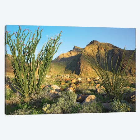 Ocotillo, Borrego Palm Canyon, Anza-Borrego Desert State Park, California Canvas Print #TFI715} by Tim Fitzharris Canvas Art Print
