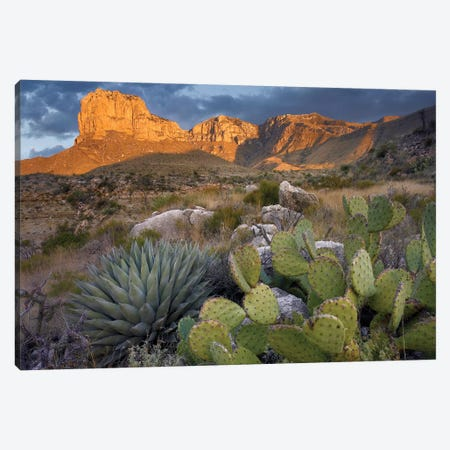 Opuntia Cactus And Agave Near El Capitan, Guadalupe Mountains National Park, Chihuahuan Desert, Texas Canvas Print #TFI719} by Tim Fitzharris Canvas Art