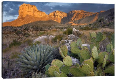 Opuntia Cactus And Agave Near El Capitan, Guadalupe Mountains National Park, Chihuahuan Desert, Texas Canvas Art Print
