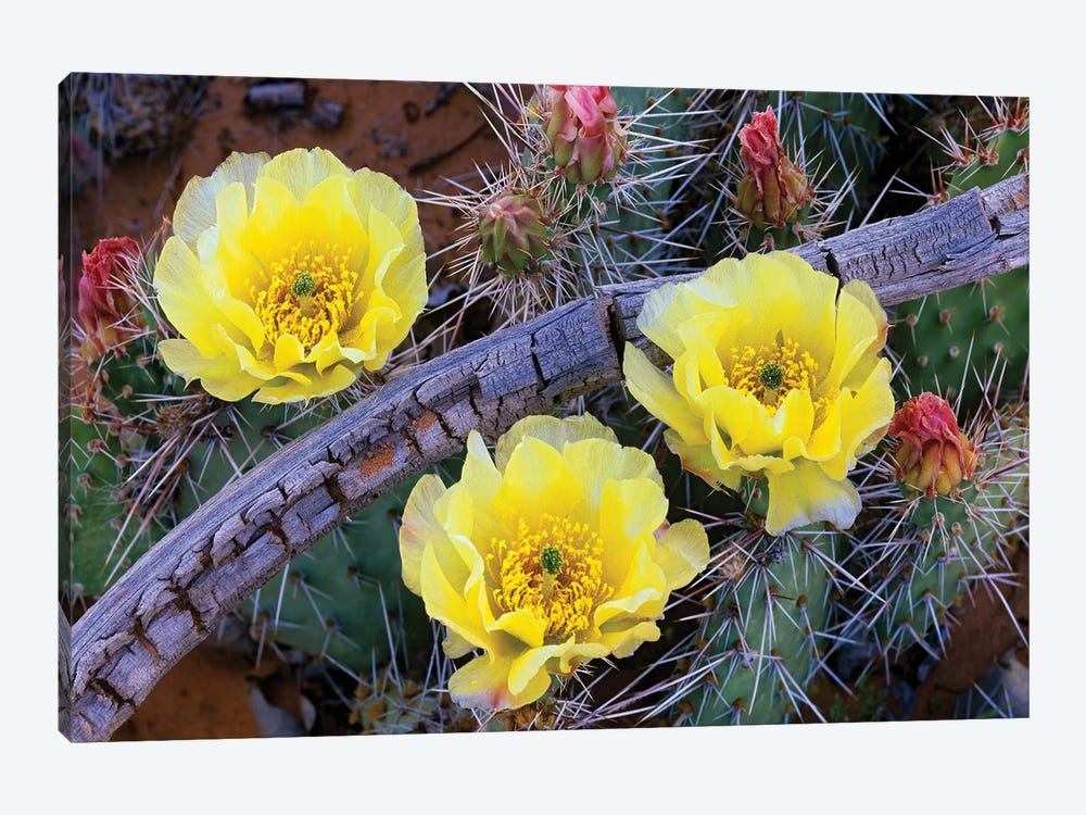 Opuntia Cactus Blooming, North America by Tim Fitzharris 1-piece Art Print