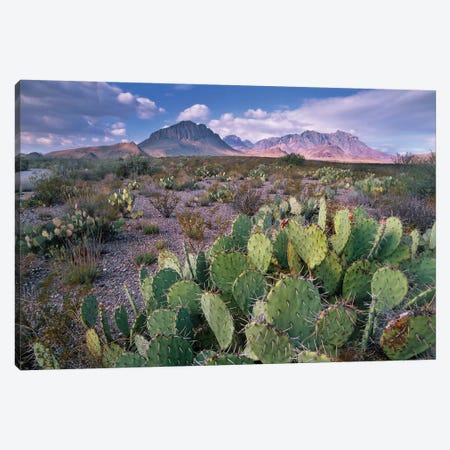 Opuntia Cactus, Chisos Mountains, Big Bend National Park, Chihuahuan Desert, Texas I Canvas Print #TFI723} by Tim Fitzharris Art Print