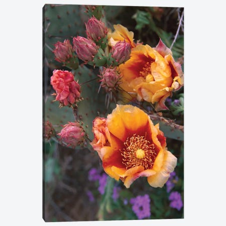 Opuntia In Bloom, North America Canvas Print #TFI725} by Tim Fitzharris Canvas Art