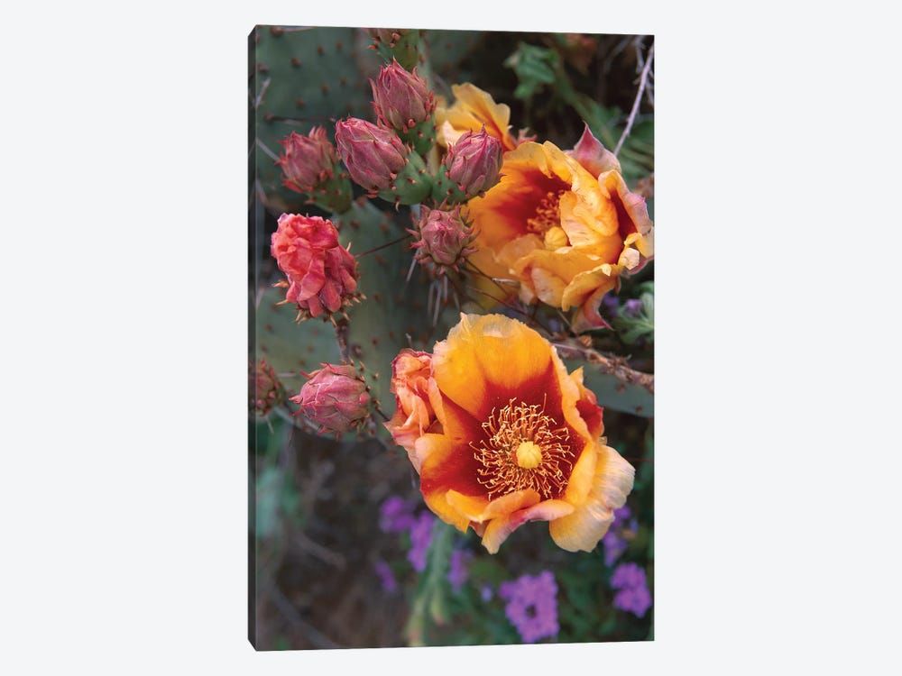 Opuntia In Bloom, North America by Tim Fitzharris 1-piece Canvas Artwork