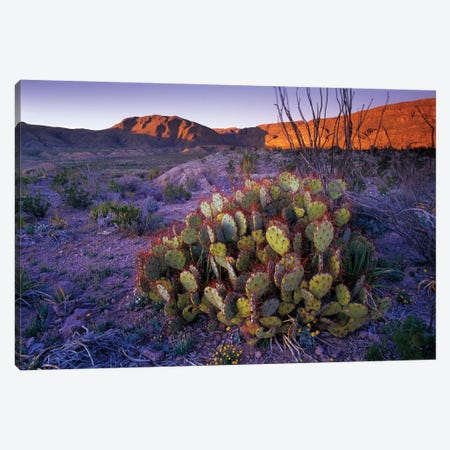 Opuntia In Chihuahuan Desert Landscape, Big Bend National Park, Texas Canvas Print #TFI726} by Tim Fitzharris Canvas Art