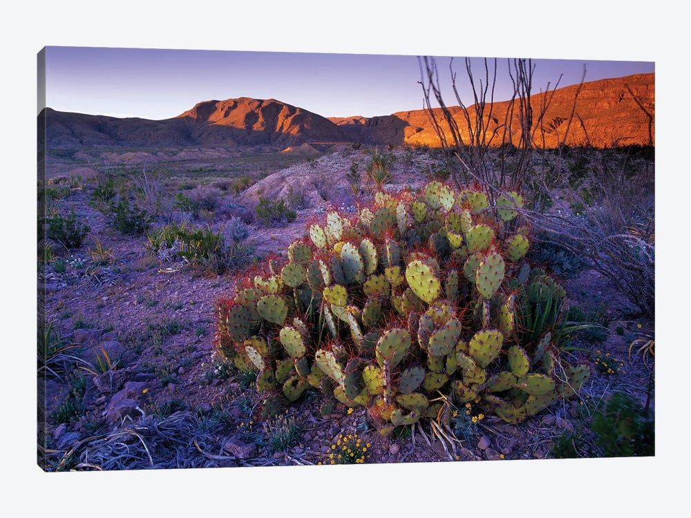 Opuntia In Chihuahuan Desert Landscape, Big Bend National Park, Texas by Tim Fitzharris 1-piece Canvas Art Print