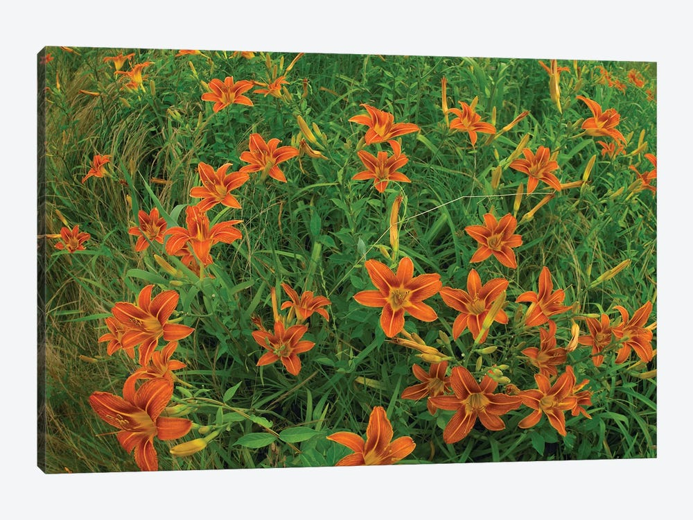 Orange Daylily Growing In Meadow, North America by Tim Fitzharris 1-piece Canvas Art