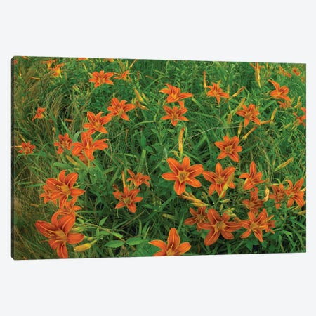 Orange Daylily Growing In Meadow, North America 3-Piece Canvas #TFI727} by Tim Fitzharris Canvas Wall Art