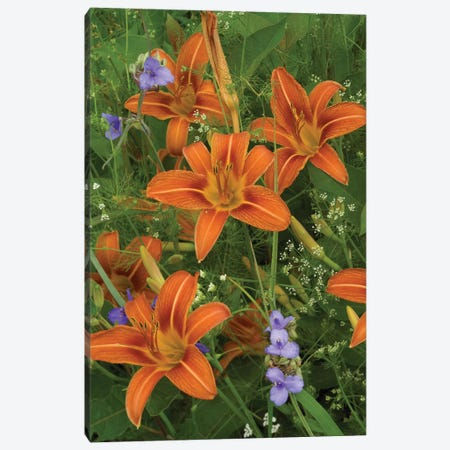 Orange Daylily With Virginia Spiderwort, North America Canvas Print #TFI728} by Tim Fitzharris Canvas Art Print