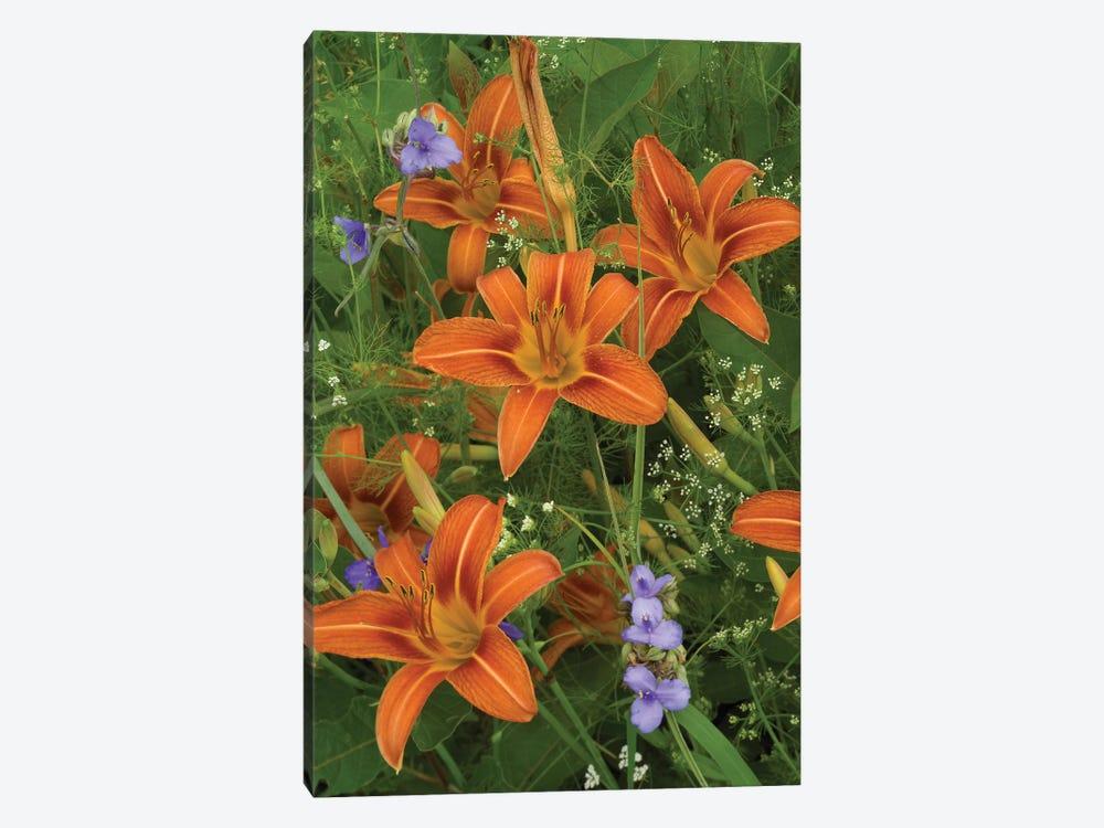 Orange Daylily With Virginia Spiderwort, North America by Tim Fitzharris 1-piece Art Print