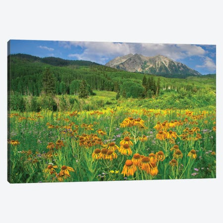 Orange Sneezeweed Blooming In Meadow With East Beckwith Mountain In The Background, Colorado Canvas Print #TFI737} by Tim Fitzharris Canvas Print