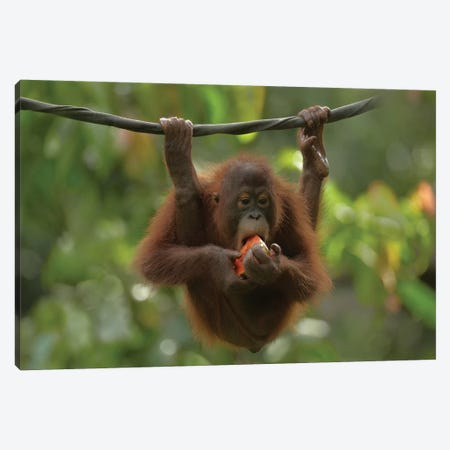 Orangutan Young Eating Fruit, Sabah, Borneo, Malaysia Canvas Print #TFI738} by Tim Fitzharris Canvas Wall Art