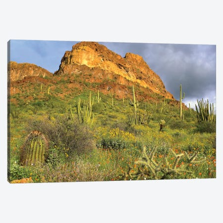 Organ Pipe Cactus, Organ Pipe Cactus National Monument, Sonoran Desert, Arizona II Canvas Print #TFI744} by Tim Fitzharris Canvas Wall Art