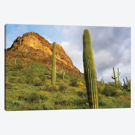Organ Pipe Cactus, Organ Pipe Cactus National Monument, Sonoran Desert, Arizona III Canvas Print #TFI745} by Tim Fitzharris Canvas Artwork