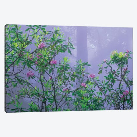 Flowering Pacific Rhododendron In Misty Forest Interior, Del Norte Coast, Redwood National Park, California 3-Piece Canvas #TFI748} by Tim Fitzharris Canvas Art Print