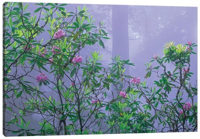 Flowering Pacific Rhododendron In Misty Forest Interior, Del Norte Coast, Redwood National Park, California Canvas Art Print