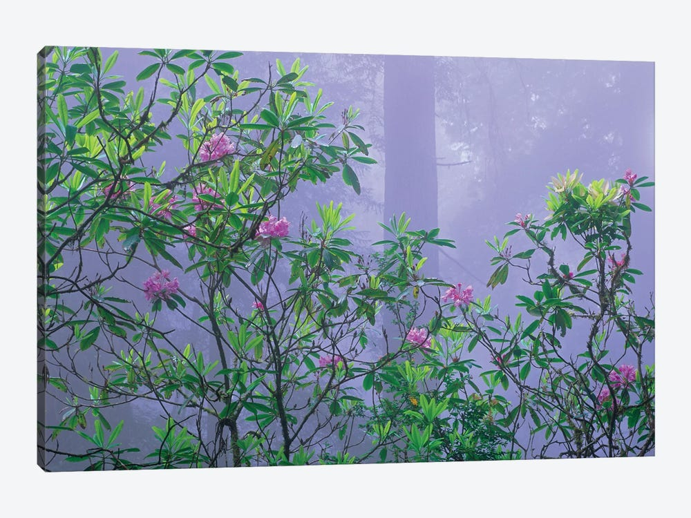 Flowering Pacific Rhododendron In Misty Forest Interior, Del Norte Coast, Redwood National Park, California by Tim Fitzharris 1-piece Art Print