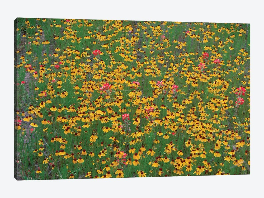 Paintbrush And Coreopsis Meadow, Hill Country, Texas by Tim Fitzharris 1-piece Canvas Wall Art