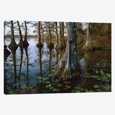 Bald Cypress At Upper Blue Basin, Reelfoot National Wildlife Refuge, Tennessee Canvas Print #TFI74} by Tim Fitzharris Canvas Wall Art