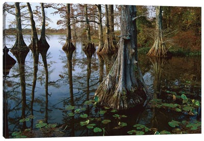 Bald Cypress At Upper Blue Basin, Reelfoot National Wildlife Refuge, Tennessee Canvas Art Print