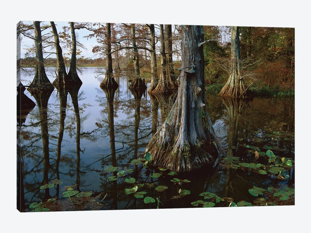 Bald Cypress At Upper Blue Basin, Reelfoot National Wildlife Refuge, Tennessee by Tim Fitzharris 1-piece Canvas Art Print