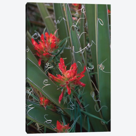 Paintbrush Growing Among With Banana Yucca, North America Canvas Print #TFI753} by Tim Fitzharris Canvas Wall Art