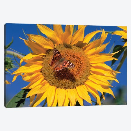 Painted Lady Butterfly On Sunflower, New Mexico Canvas Print #TFI755} by Tim Fitzharris Canvas Print