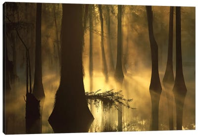 Bald Cypress Grove In Freshwater Swamp At Dawn, Lake Fausse Pointe, Louisiana I Canvas Art Print