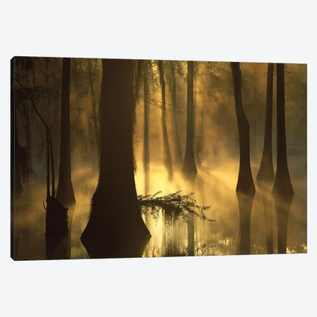 Bald Cypress Grove In Freshwater Swamp At Dawn, Lake Fausse Pointe, Louisiana I Canvas Print #TFI75} by Tim Fitzharris Canvas Art